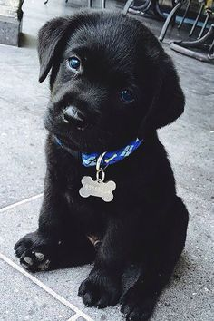 Cutest black lab puppy!