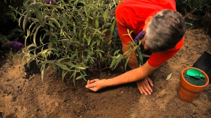 How to easily plant flower seed for a beautiful garden youtube - 25 Best Ideas About Butterfly Bush On Pinterest