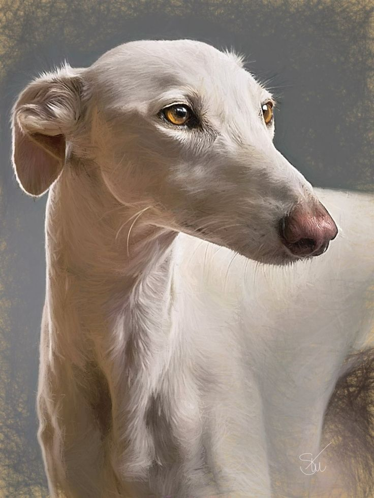 Spanish greyhound.