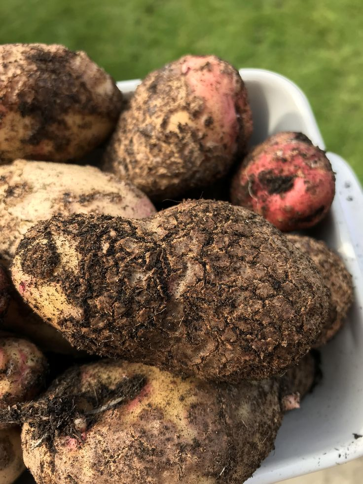 Potatoes came out with skin blisters - what did we get wrong? #gardening #garden #gardens #DIY #landscaping #home #horticulture #flowers #gardenchat #roses #nature