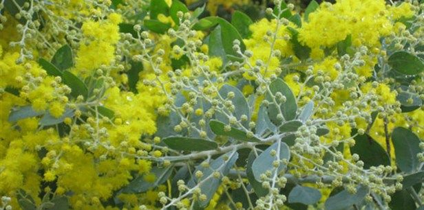 Acacia++podalyriifolia