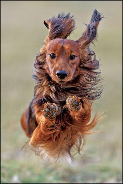 Longhair Dachshund running like the wind.