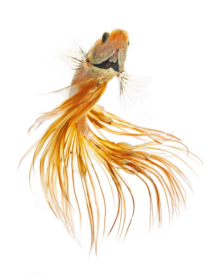 143 best Betta\'s are the coolest fish images by Katie Schultz on ...