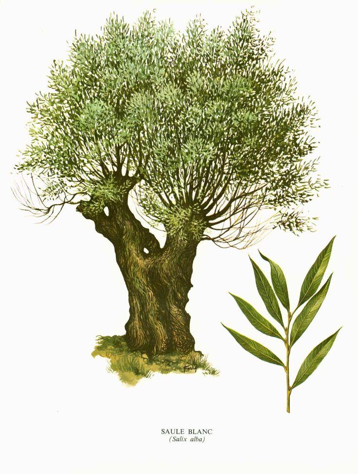 1967 Saule blanc. Salix alba. Arbre. Planche Botanique. Cuisine Decor mural. de la boutique sofrenchvintage sur Etsy