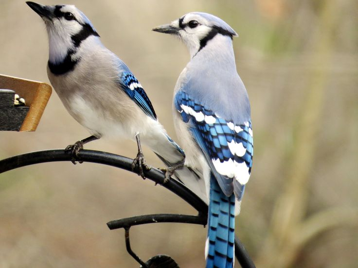 how to make a blue jay bird feeder