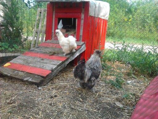 Au des poulettes