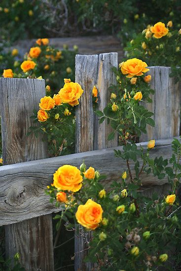 Yellow Climbing Roses on a weathered board fence