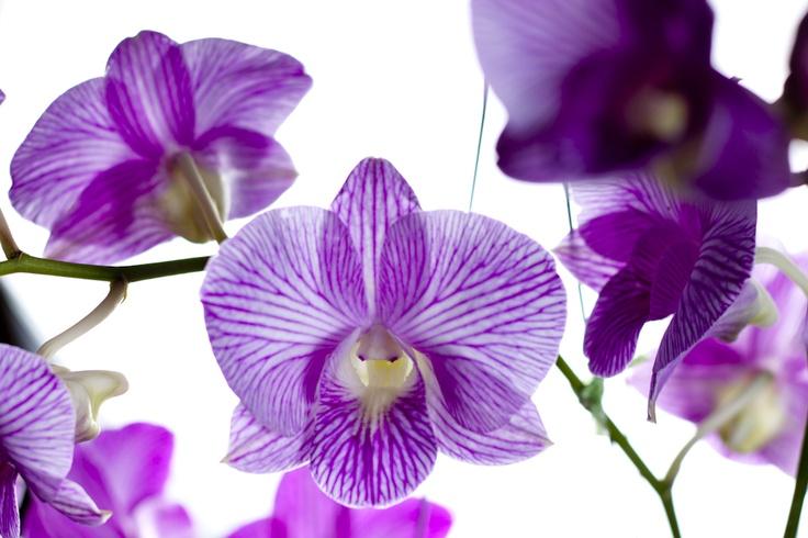 Orchid Siam Tropical Thailand  http://www.fotopretty.com/