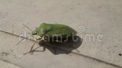 A green shield bug walking and flying