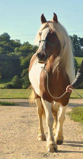 Vente de chevaux de race Irish cob, gypsy cob, tinker, vanner