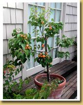 Royal Blenheim Apricot Ultra Dwarf Patio Fruit Tree