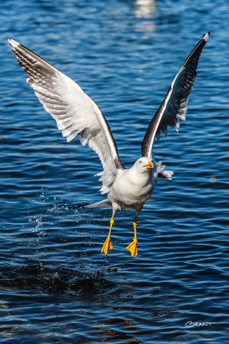 Seagull by Brant Fageraas