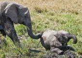 彼らは仲間のところに駆けつけて寄り添い、鼻で体に触れて落ち着かせ、優しくさえずるような高い 声を出す。時には自分の鼻を相手の口に入れることもあり、研究者によればゾウが特に心地良く感じる行動だと いう。 - National Geographic | 仲間の心に寄り添うゾウの共感能力