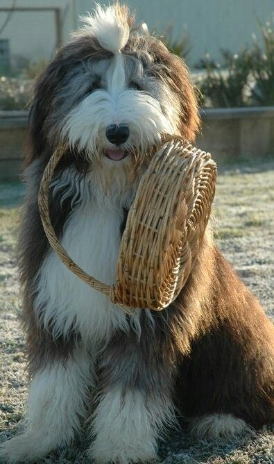 Iv always wanted a bearded collie some people might think different but i <3 them also
