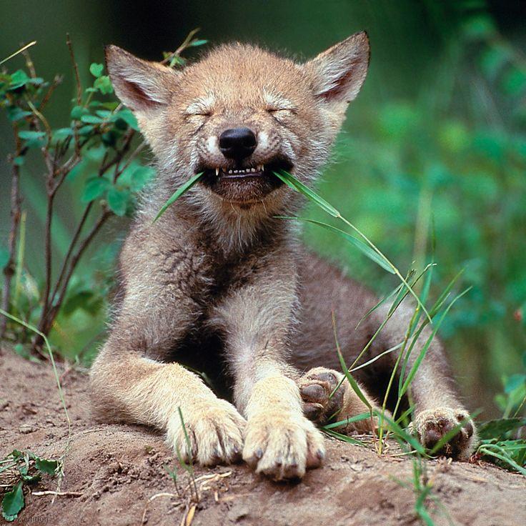 Ein kanadischer Jungwolf kaut verspielt auf einem Grashalm, bis ihm seine Mutter die artgerechte Beute bringt: Fleisch. Wenn der Welpe erwachsen ist, jagt er mit im Wolfsrudel, das sogar Großtiere wie Elche und Karibus erlegen kann – Diese Karte hier online kaufen: http://bkurl.de/pkshop-212004 Art.-Nr.: 212004 Wolswelpe | Foto: © Art Wolfe | Text: Rolf Bökemeier