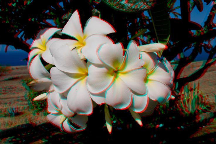 3D image of plumeria flowers, Plumeria rubra, Kawaihae, Hawaii