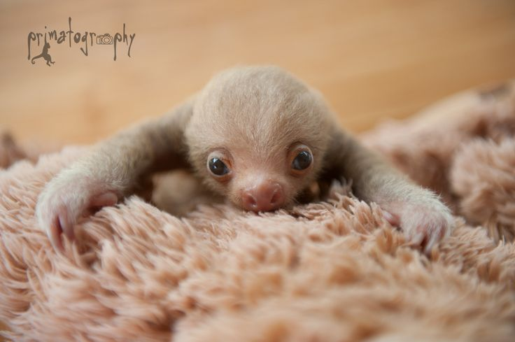 "primatography: "" Sloth love! Yet another baby two toed sloth came to the rescue center a week ago. In wildlife rescue, sometimes you win and sometimes you lose. Right now this little guy is winning..."