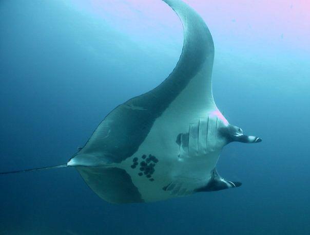 Manta ray in Costa Rica