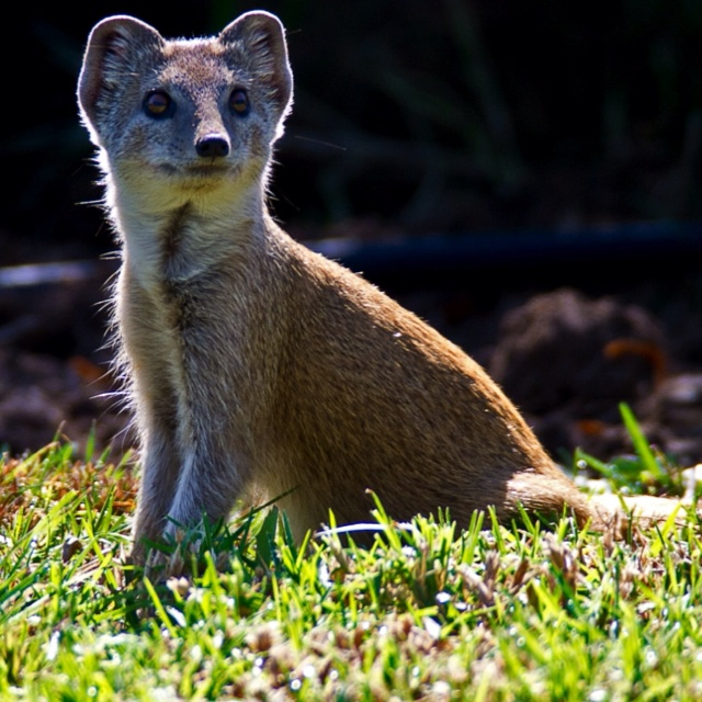 This yellow white tail mongoose and his family has decided to move into our garden and that makes him one of my favorite animals