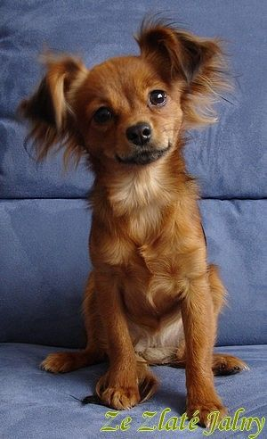 a furry ding a ling ! long hair russian toy terrier!