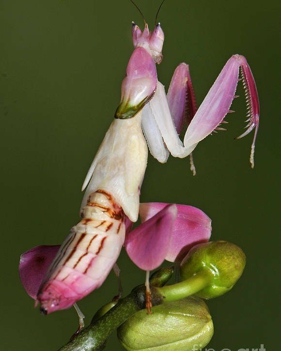 White Orchid Mantis Orchid Mantis Macro Photography Insects Orchids