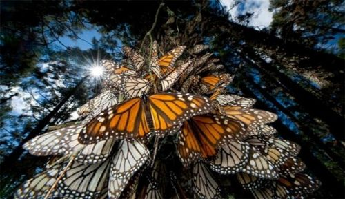 Ambiente, le farfalle Monarca in pericolo