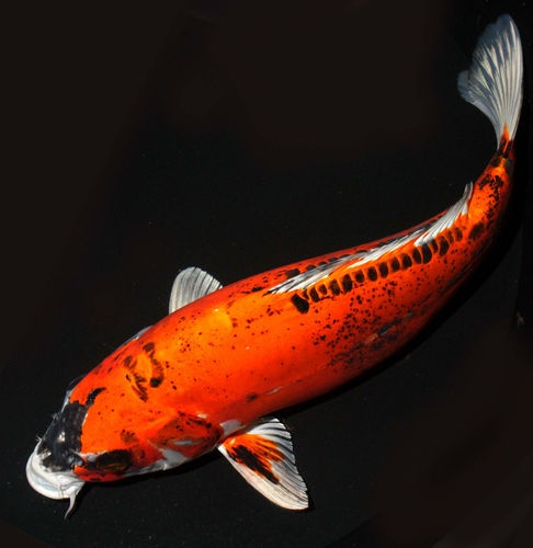 "Kin Kikokuryu Black Face Scaleless 13-14""  Live Pond Fish Koibay: Koifish"