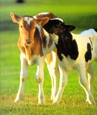 47 Best Baby Cow Calf Cuties Images On Pinterest