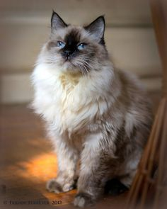 ♥ ~ ♥ Cats ♥ ~ ♥  Balinese cats: active, caring, tend to sport and are also sensitive cats. Therefore they do not like to be left alone.street.
