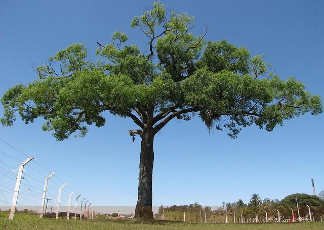 """Jequitiba - Árvores nativas da mata atlântica brasileira, existentes apenas na Região Sudeste do Brasil e em alguns estados vizinhos. Em língua tupi, significa """"gigante da floresta"""". Registros atuais anotam jequitibás com sessenta metros de altura."""