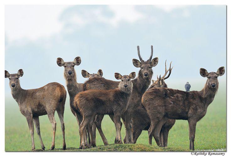 Sambar Deer_D4S8258