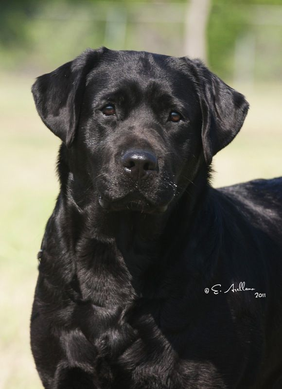 Black English labrador retrievers
