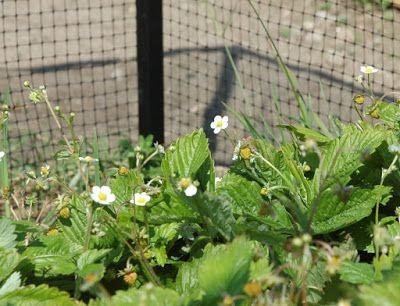 Drømmehagen til Gulltann: Jordbærbur og andre bur i grønnsakhagen