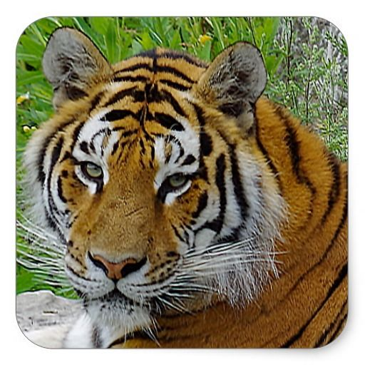 Siberian tiger sticker