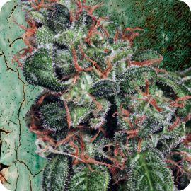 Royalmatic - strain - Ministry of Cannabis | Cannapedia