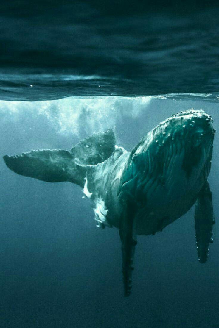Pin By Danijela Butkovic On Maravillas Del Mar Whale Ocean Creatures Ocean Animals