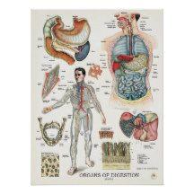 Affiche anatomique montrant l'appareil digestif du corps humain. Vue antérieure de la cavité thoracique avec l'estomac, le foie, la vésicule biliaire et les intestins. Section transversale du mur intestinal. Section transversale d'une dent. Mâchoire inférieure et supérieure avec des dents.