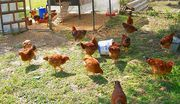 Κάθε αυγό έχει ταυτότητα ΚΟΤΕΣ ΕΛΕΥΘΕΡΑΣ ΒΟΣΚΗ ΣΑΥΓΑ ΕΛΕΥΘΕΡΑΣ ΒΟΣΚΗΣ...