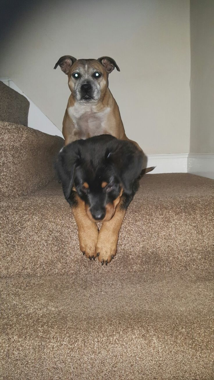 Our rotti pup iian at 3 months with our lovely staffi stella 12 years