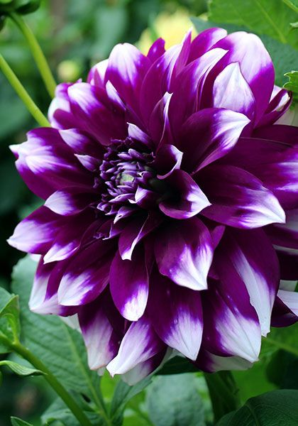 453 best dahlias dazzling images on pinterest dahlia dahlias deuil du roi albert dahlia easy to grow and loaded with 4 purple dahliadahlia flowersdahliasflowers mightylinksfo