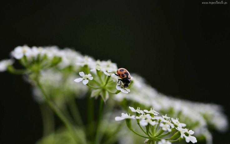 Biedronka, Białe, Drobne, Kwiatki
