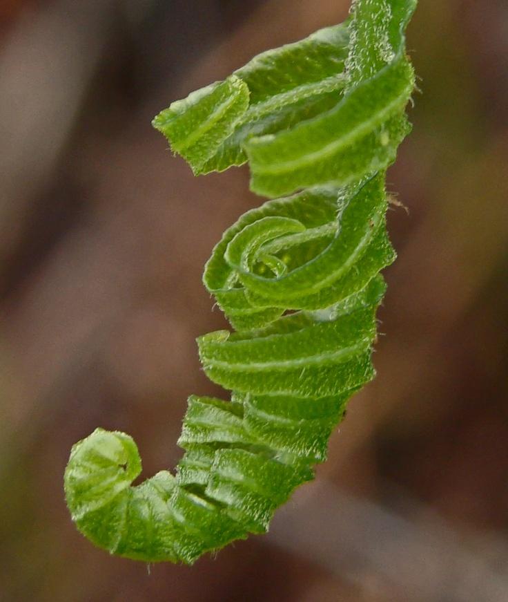 Polypodium californicum.  Falls Cyn., Santa Ana Mts.