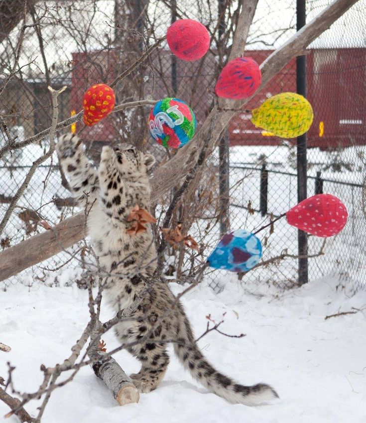 "One of the snow leopard cubs plays with their Christmas present. Today's daily dose of cuteness comes courtesy of the Assiniboine Park Zoo.  A spokesperson for the zoo says volunteers made several ""special"" gifts for the animals, who enjoyed playing with them — and the treats inside."