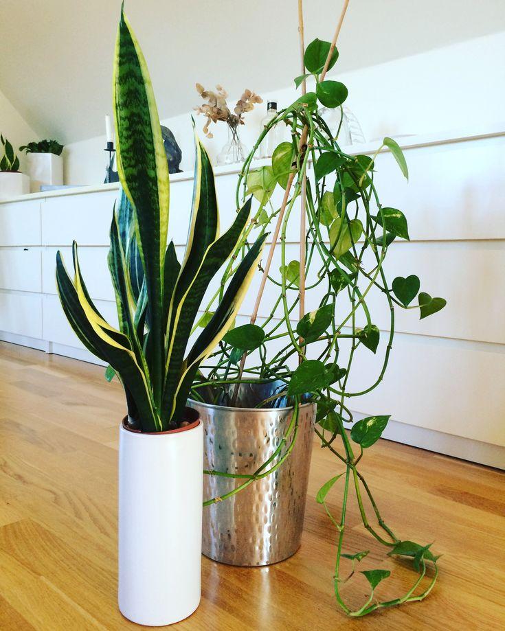 svärmorstunga gullranka blommor växter
