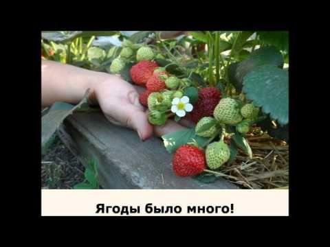 5 секретов выращивания земляники - YouTube