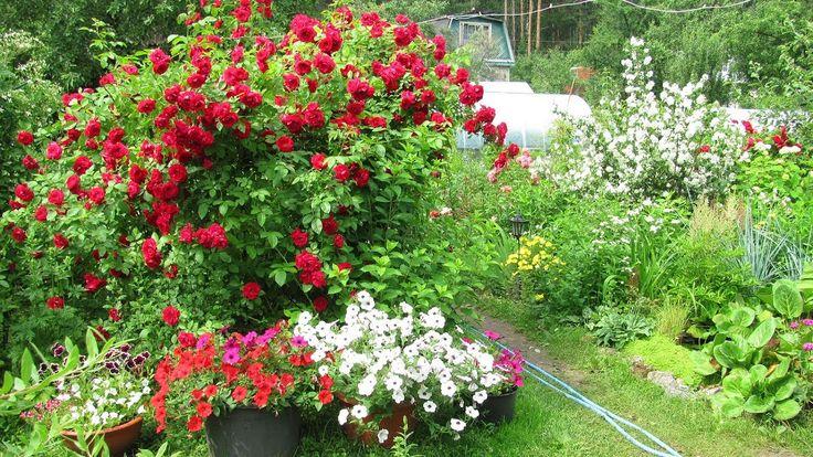 Как укрывать плетистые розы