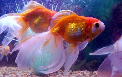 Fantail goldfish w/ white tail