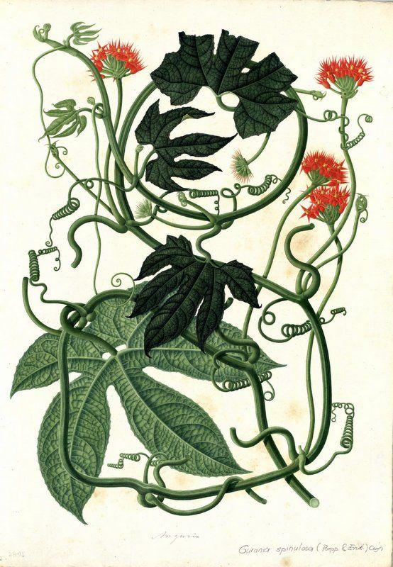 Anguria. Proyecto de digitalización de los dibujos de la Real Expedición Botánica del Nuevo Reino de Granada (1783-1816), dirigida por José Celestino Mutis: www.rjb.csic.es/icones/mutis. Real Jardín Botánico-CSIC.