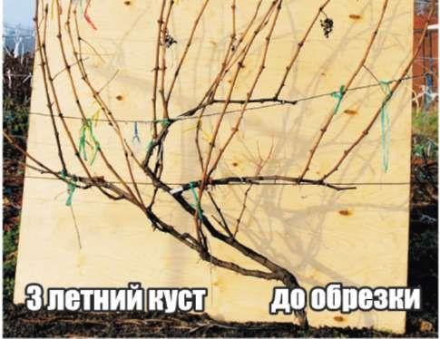 """обрезка Плодовый питомник """"ЛПХ Макаревич"""" г. Уссурийск. Статьи"""