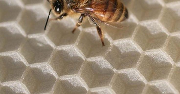 Cómo construir una trampa para un enjambre de abejas. La captura de un enjambre de abejas es probablemente la forma menos costosa de ampliar un apiario. En la primavera, las abejas se reproducen en enjambres y las colmenas tienen una mayor cantidad de nuevas reinas que reemplazan a las antiguas. Las viejas reinas se irán de la colmena y se llevarán consigo a algunas abejas para formar una nueva ...